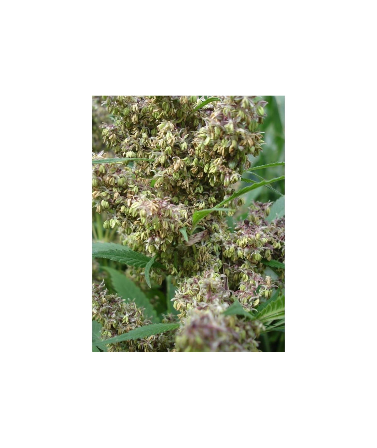 Sangira Pollen